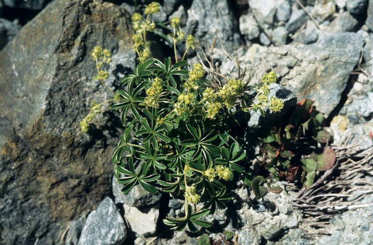 Alchémille des Alpes, Herbe de Saint-Sabin, Satinée © Bernard Nicollet - Parc national des Ecrins