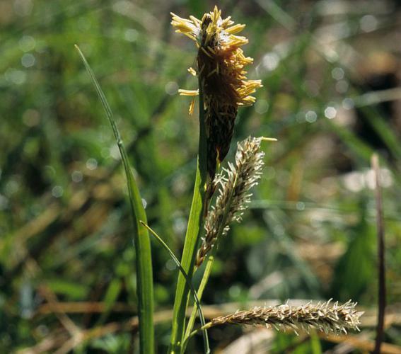 Laîche glauque, Langue-de-pic © Bernard Nicollet - Parc national des Ecrins