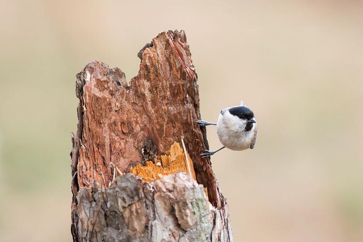 Mésange nonnette © Pascal Saulay - Parc national des Ecrins