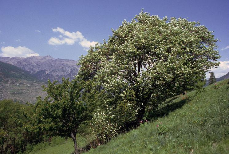 Alouchier, Alisier blanc © Parc national des Ecrins