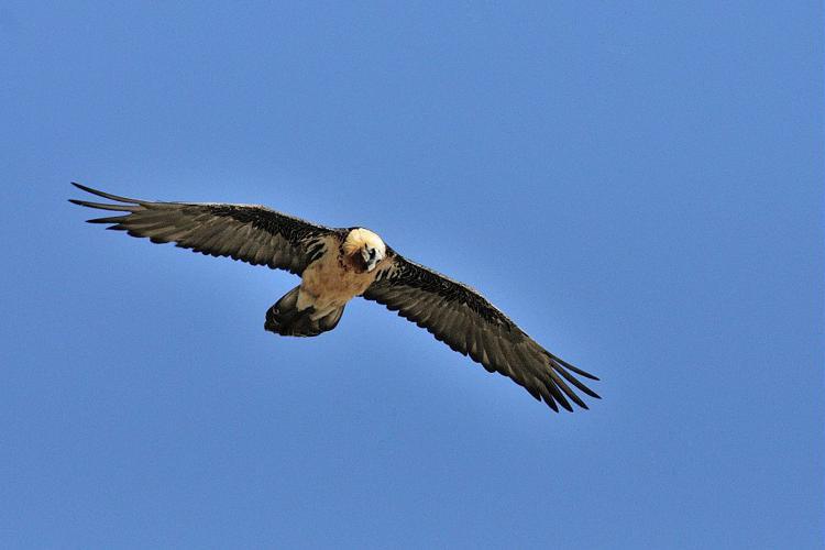 Gypaète barbu © Mireille Coulon - Parc national des Ecrins