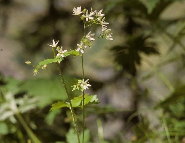 Saxifrage à feuilles rondes © Bernard Nicollet - Parc national des Ecrins
