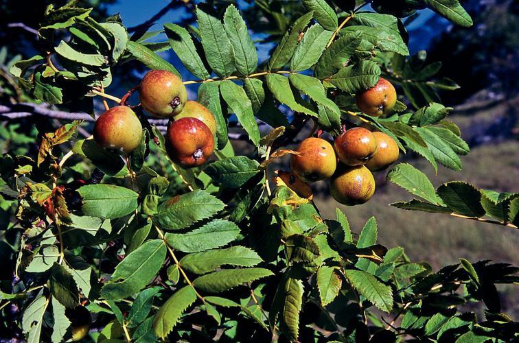 Cormier, Sorbier domestique - fruits © Bernard Nicollet - Parc national des Ecrins