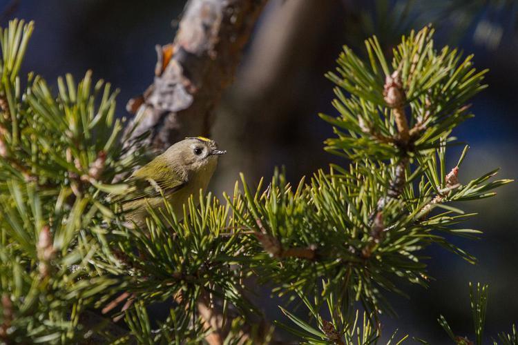 Roitelet huppé © Christophe Albert - Parc national des Ecrins