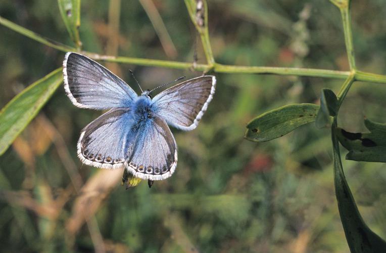 Argus bleu-nacré © Marie-Geneviève Nicolas - Parc national des Ecrins