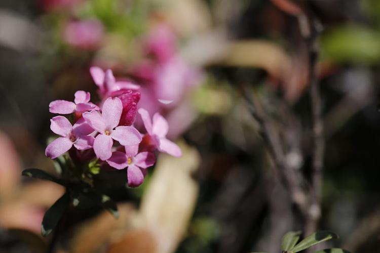 Daphné camélée, Thymélée © Thierry Maillet - Parc national des Ecrins