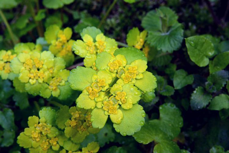Dorine à feuilles alternes, Cresson de rocher, Cresson doré, Hépatique dorée © Bernard Nicollet - Parc national des Ecrins