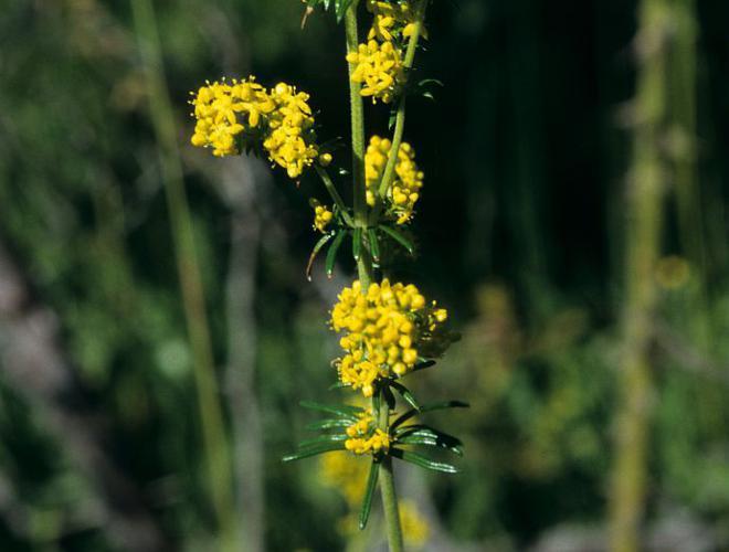 Gaillet jaune, Caille-lait jaune © Bernard Nicollet - Parc national des Ecrins