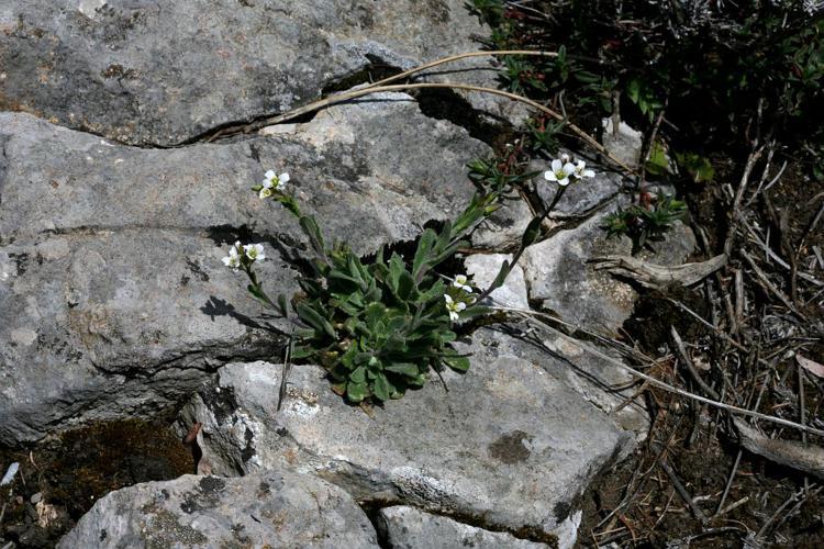 Arabette des collines, Arabette des murailles © Bernard Nicollet - Parc national des Ecrins