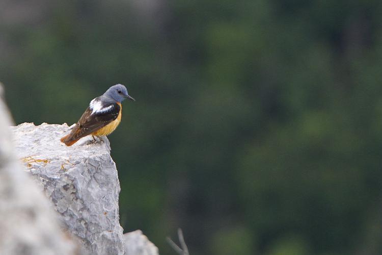 Monticole de roche, Merle de roche © Pascal Saulay - Parc national des Ecrins