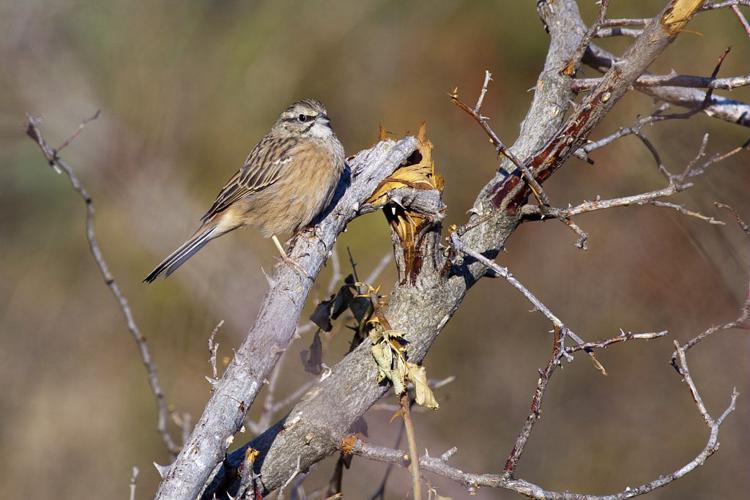 Bruant fou © Pascal Saulay - Parc national des Ecrins