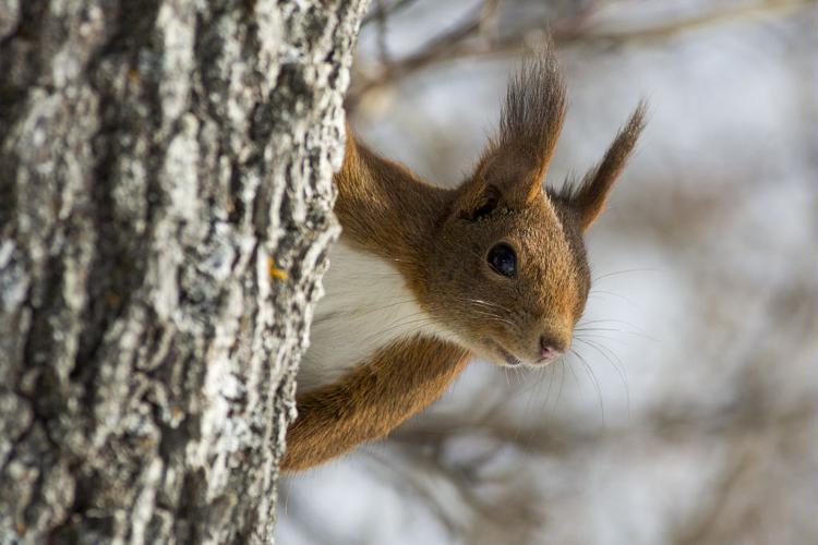 Écureuil roux © Pascal Saulay - Parc national des Ecrins
