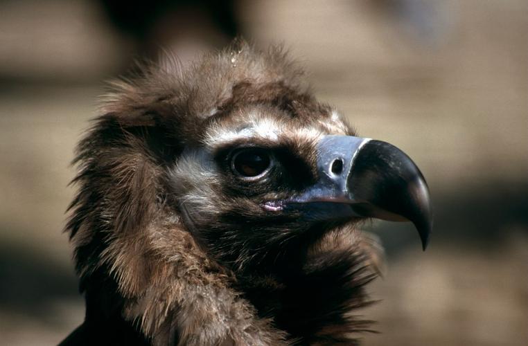 Tête de vautour moine © Cyril Coursier - Parc national des Ecrins