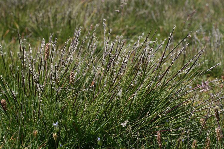 Nard raide en fleurs © Marie-Geneviève Nicolas - Parc national des Ecrins