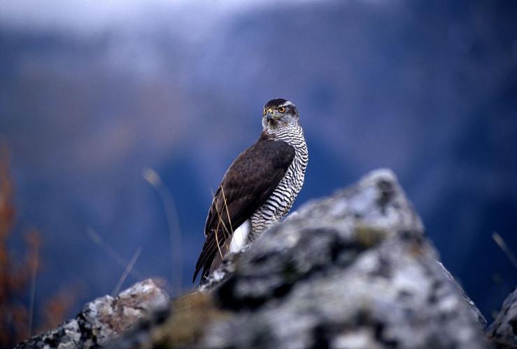 Autour des palombes © Robert Chevalier - Parc national des Ecrins