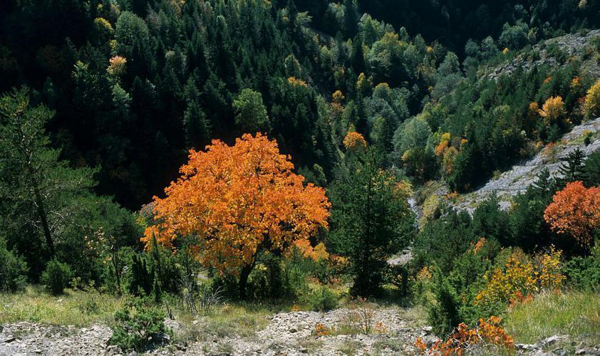 Érable à feuilles d'obier, Érable opale, Érable d'Italie © Jean-Pierre Nicollet - Parc national des Ecrins