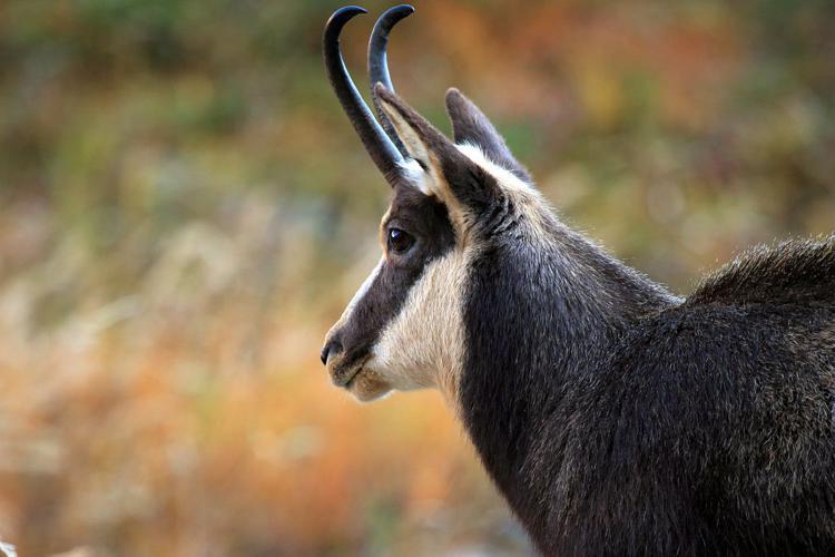 Chamois mâle © Christophe Albert - Parc national des Ecrins