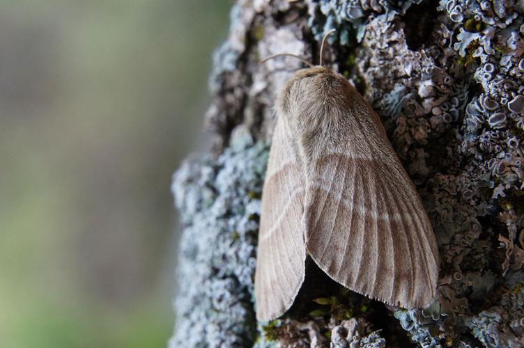 Bombyx de la ronce © Ludovic Imberdis - Parc national des Ecrins