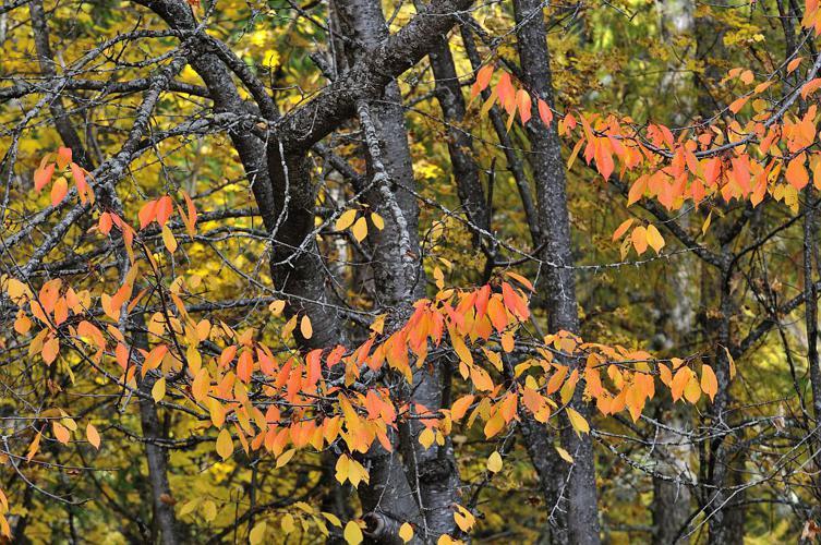 Prunier merisier, Cerisier © Mireille Coulon - Parc national des Ecrins