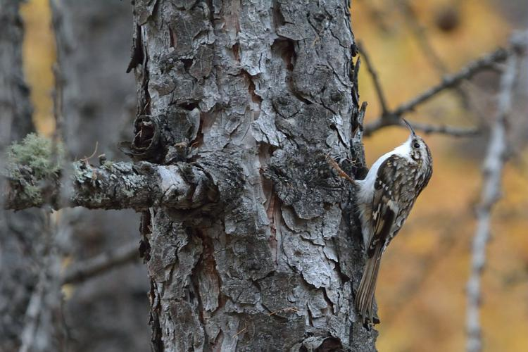 Grimpereau des bois © Mireille Coulon - Parc national des Ecrins