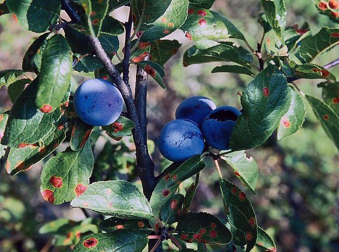 Prunier domestique, Prunier - fruits © Bernard Nicollet - Parc national des Ecrins