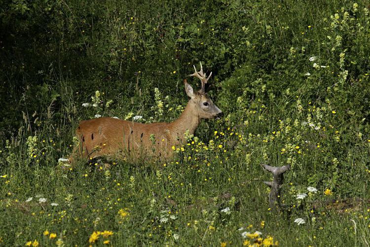 Chevreuil à l'époque du rut © Jean-Philippe Telmon - Parc national des Ecrins