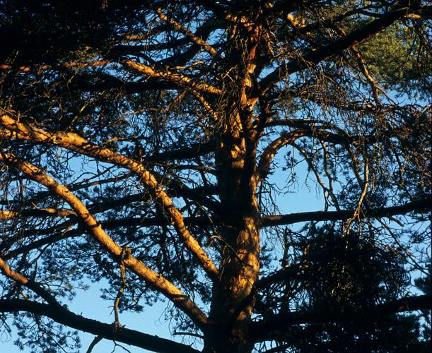 Pin sylvestre © Bernard Nicollet - Parc national des Ecrins