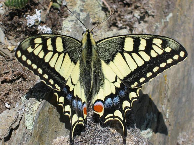 Machaon © Christophe Albert - Parc national des Ecrins
