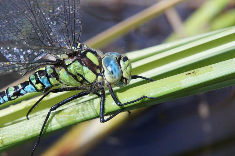 Aeschne bleue - Mâle © Ludovic Imberdis - Parc national des Ecrins