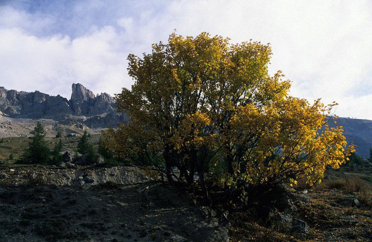 Érable sycomore, Grand Érable © Bernard Nicollet - Parc national des Ecrins