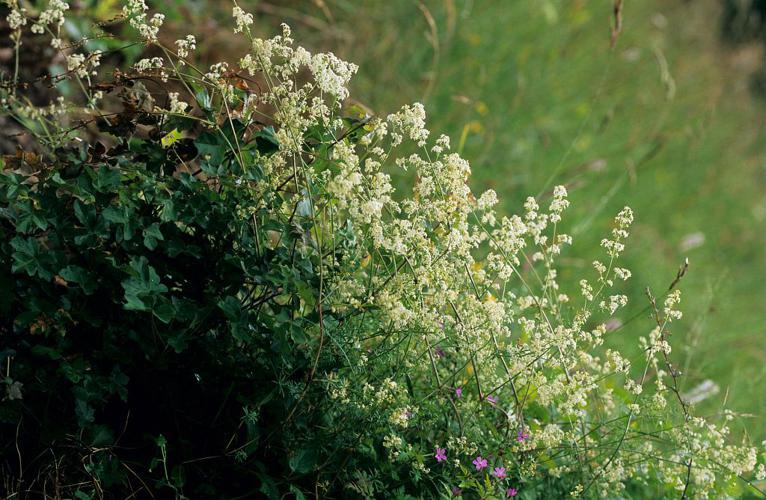 Gaillet dressé © Jean-Pierre Nicollet - Parc national des Ecrins