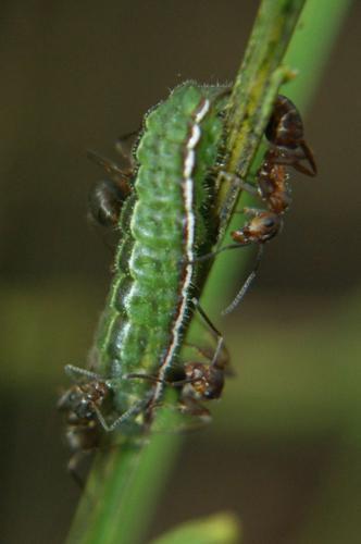 Plebejus idas chenille en symbiose avec des fourmis © Donovan Maillard - Parc National des Ecrins