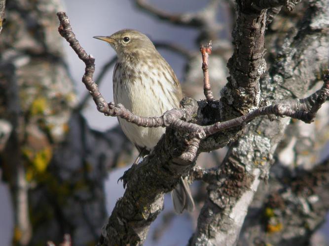 Pipit spioncelle en plumage d'hiver © Damien Combrisson - Parc national des Ecrins