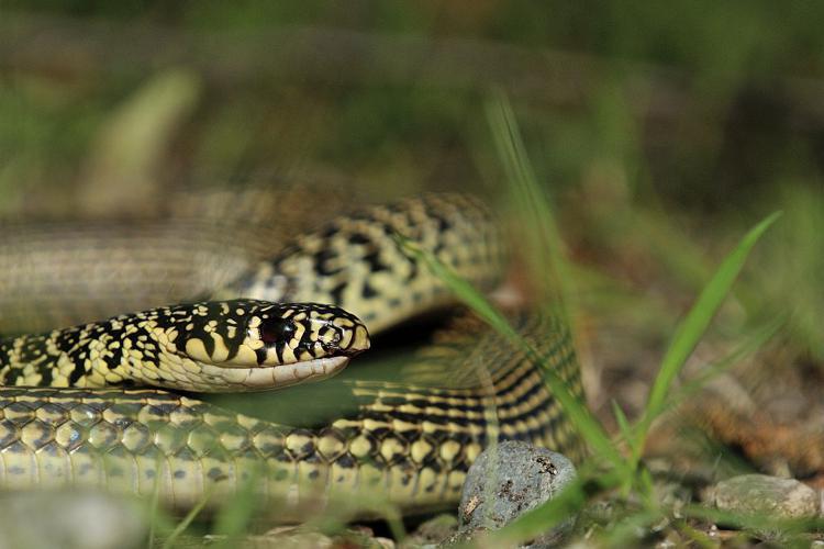 Couleuvre verte et jaune © Mireille Coulon - Parc national des Ecrins