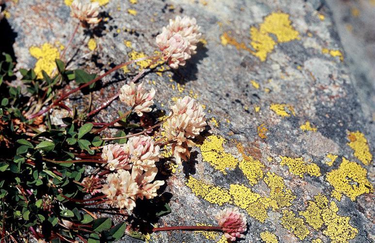 Trèfle pâle d'Auvergne © Parc national des Ecrins