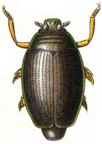 """Gyrinus natator.JPG © Edmund Reitter (1845-1920): """"Fauna Germanica: Die Käfer des deutschen Reiches"""" 1909."""