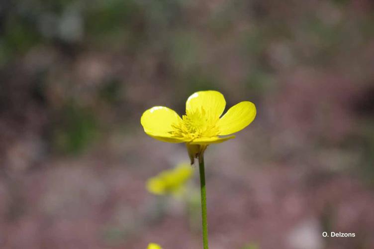 <i>Ranunculus monspeliacus</i> L., 1753 © O. Delzons