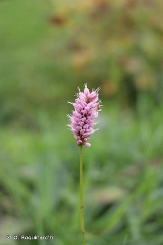 <i>Bistorta officinalis</i> Delarbre, 1800 © O. Roquinarc'h