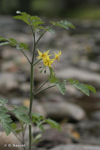 <i>Solanum lycopersicum</i> L., 1753 © O. Nawrot