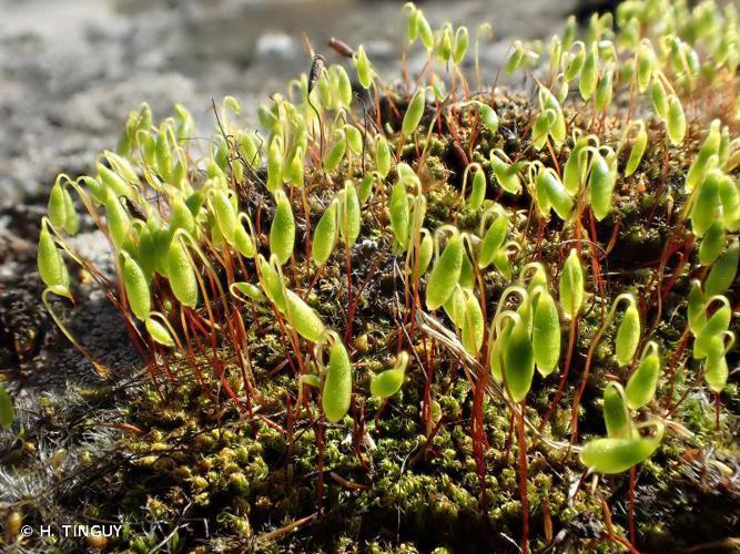 <i>Ptychostomum capillare</i> (Hedw.) Holyoak & N.Pedersen, 2007 © H. TINGUY