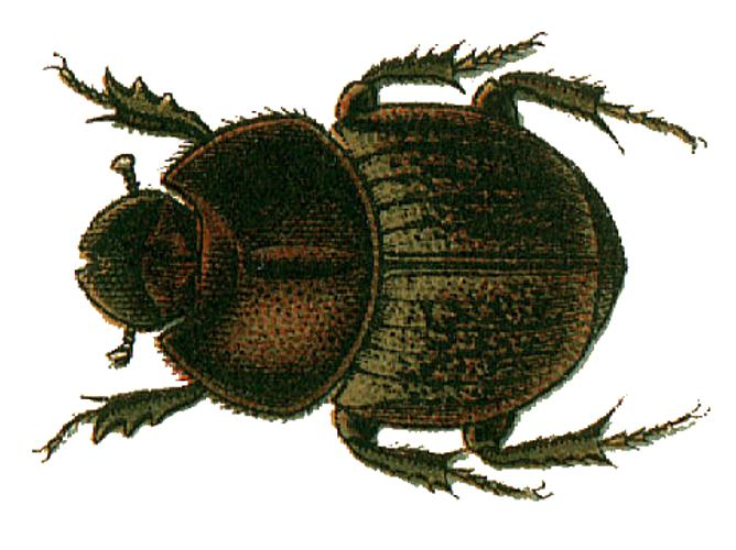 Onthophagus fracticornis.png © Jacobs30.jpg: see in description derivative work: Frédéric (talk)