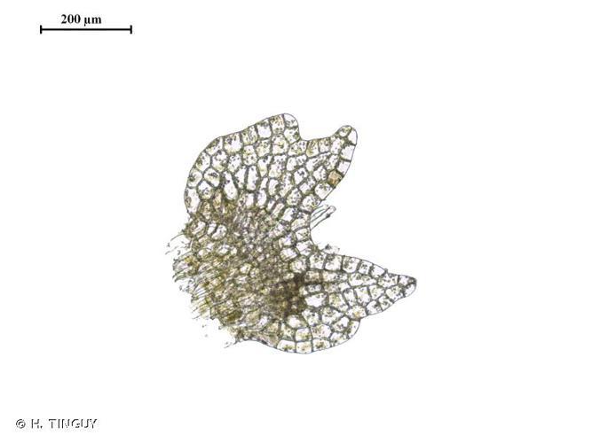<i>Calypogeia fissa</i> (L.) Raddi, 1818 © H. TINGUY