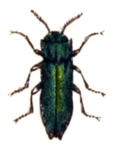Agrilus.laticornis.-.calwer.24.10.jpg © Commons