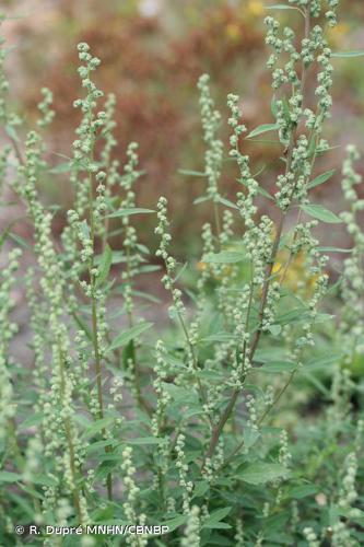 <i>Chenopodium album </i>subsp.<i> album</i> L., 1753 © R. Dupré MNHN/CBNBP