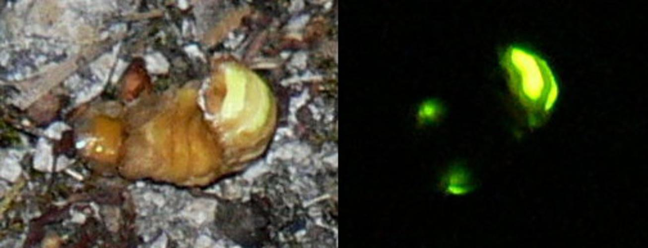 Lampyris noctiluca luciole.jpg © No machine-readable author provided. Jod-let assumed (based on copyright claims).