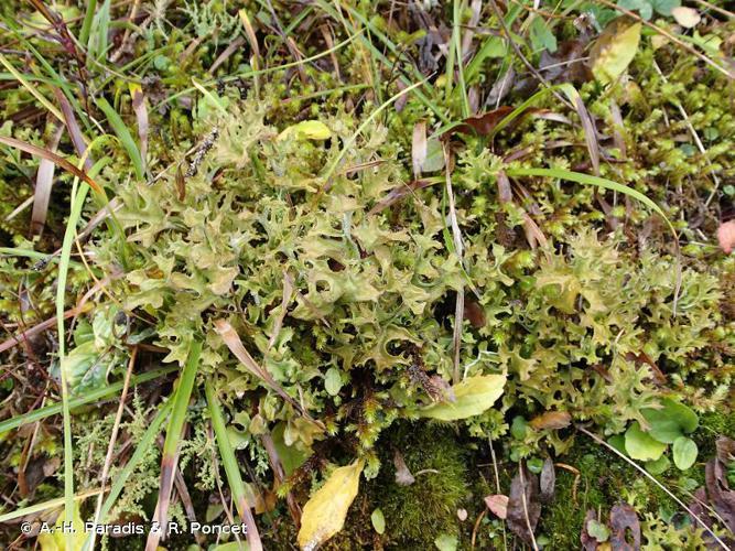 <i>Cetraria islandica</i> (L.) Ach., 1803 © A.-H. Paradis & R. Poncet