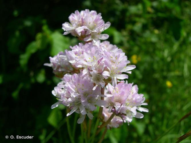 <i>Armeria arenaria </i>subsp.<i> arenaria</i> (Pers.) Schult., 1820 © O. Escuder