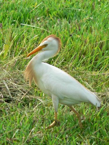 Cattle Egret (Bubulcus ibis) -walking in grass3.jpg © Rick Kimpel