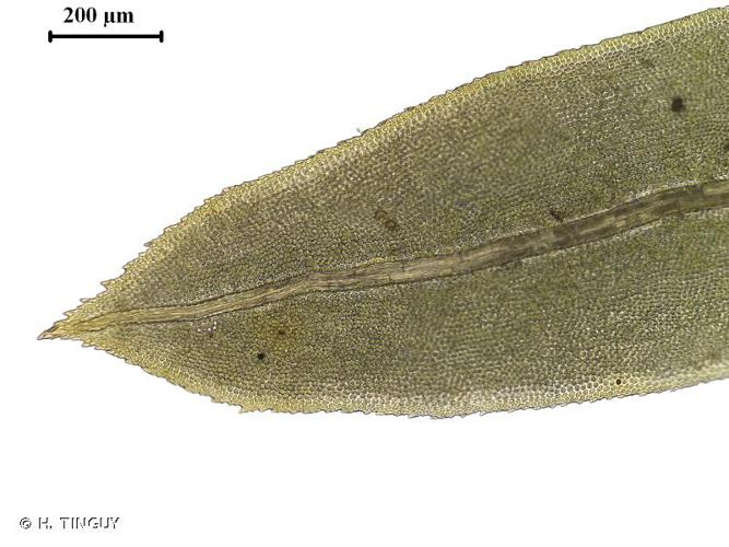 <i>Fissidens dubius</i> P.Beauv., 1805 © H. TINGUY