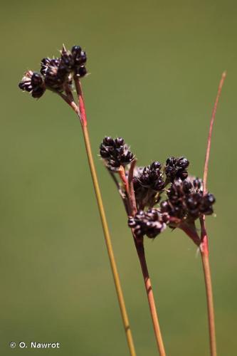<i>Luzula sudetica</i> (Willd.) Schult., 1814 © O. Nawrot